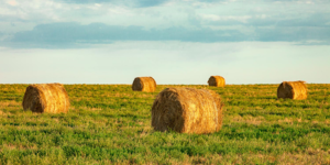 Field-Full-of-Round-Bales-of-HayCropped